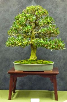 Bonsai Pottery: from Australian Native Bonsai Exhibition Plants, Australian Plants, Bonsai Pots, Australian Native Plants, Ikebana, Japanese Garden, Bonsai, Small Trees, Miniature Trees