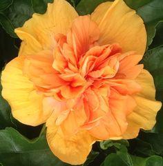 """""""Mango Moon"""" hibiscus"""