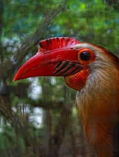 Writhed Hornbill (Aceros leucocephalus), also known as the Mindanao Wrinkled Hornbill, is endemic to humid forests on the Philippine islands of Mindanao, Dinagat and Camiguin Sur.