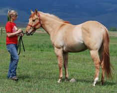 Quarter Horse gelding Fletcher, an extremely clear red dun. Notice the zebra stripes, bicolored mane and tail, eel stripe and shoulder cross. All The Pretty Horses, Beautiful Horses, American Quarter Horse, Quarter Horses, Dun Horse, Horse Markings, Cowboy Horse, Horse Breeds, Horse Love