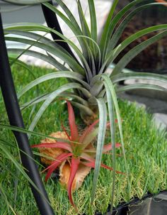 Air Plants Air Plants, Plants, Air Plants Care, Growing