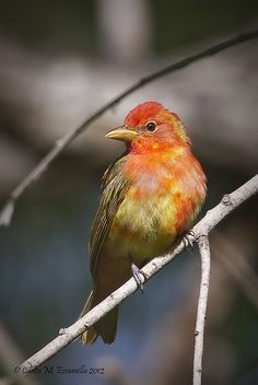 The summer tanager, is a medium-sized American songbird. Formerly placed in the tanager family, it and other members of its genus are now classified in the cardinal family. Wikipedia