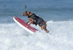 Hanzo, a 4-year-old German boxer, jumps a wave during the annual Surf City Surf Dog competition at Huntington Beach in California on September 30, 2012. An extremely talented surfer, Hanzo learned how to skateboard when he was only 10 weeks old. AFP PHOTO/JOE KLAMAR