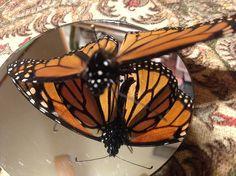 """Monarch Butterfly on Mirror Left"" photo by Allison Britten"