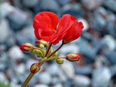Geranium, Red, Flower, Garden, Floral, Flora, Gardening  FREE