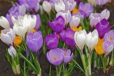 Which first flowers bloom in the spring. Top ten spring flowers for a flower bed with description and photo Deciduous Trees, Trees And Shrubs, Tiny Flowers, Yellow Flowers, Bee Friendly Flowers, Bulbous Plants, Early Spring Flowers, Lenten Rose, Primroses