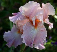 "Iris ""Pond Lily"" | Flickr - Photo Sharing!"