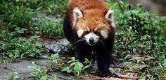 Panda não é urso? Veja curiosidades sobre o animal mais fofo da internet