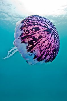Jellyfish are found in every ocean, from the surface to the deep sea. The Purple-Striped Jelly (Chrysaora colorata) is a species of jellyfish that exists primarily off the coast of California in Monterey Bay. Photo by divindk 2012
