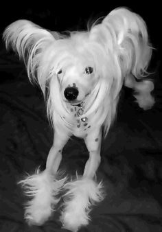 Chinese Crested Breeders - and cute photo - awwwwwwww!
