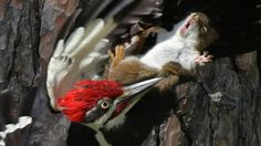 Cornwall Ont., photographer Brian Morin captured this perfectly timed image of a red squirrel falling in a battle with a pileated woodpecker.