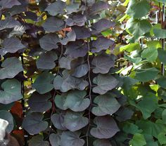 10 best eastern redbud cercis canadensis and cultivars images on ruby falls redbud dark maroon heart shaped leaves and weeping habit pretty rose purple flowers in spring on bright red stems before the foliage mightylinksfo