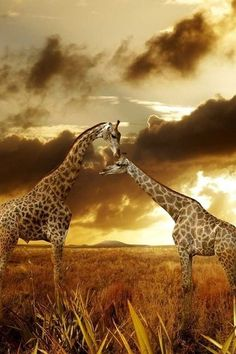 •♥• Giraffes in the sunset