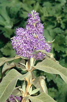Buddleja Salvilfolia Sagewood Saliehout/Wildesalie S A no 637