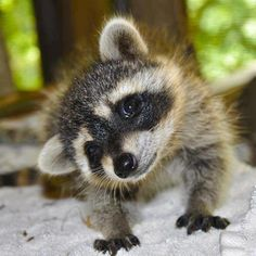 Raccoon baby, it makes me miss Hank!!