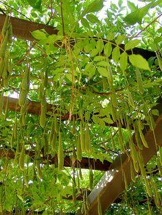 Wisteria Vine Seed Pods