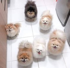 Cute Overload: Internet`s best cute dogs and cute cats are here. Aww pics and adorable animals. Pomeranian Spitz, Cute Pomeranian, Pomeranians, Dog Wallpaper, Animal Wallpaper, Funny Cats And Dogs, Funny Animals, Cute Puppies, Dogs And Puppies