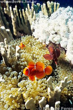 UNESCO World Heritage Site - Australia - The Great Barrier and the Coral Sea  adoro peixe palhaço