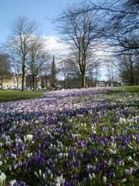 Swathes of crocuses on Harrogate Stray in early Spring.