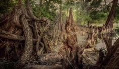 """JDS Fine Art Photography posted a photo:  I have had many encounters with """"amazing roots"""" on my photo shoots by Florida lakes, creeks and rivers, and always felt there was something magical about them, but for some reason in the past I had trouble capturing the magic with my camera.  Yesterday, I discovered these amazing roots along the lake at Trout Creek. Once again, most of the shots I took didn't capture the magic, but for this setting, I shot 3 exposures because of the wide range of…"""