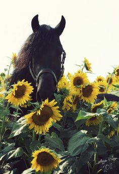 Our beautiful and inquisitive Friesian in the flowers; and wouldn't you know his name is Sunflower.
