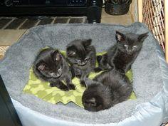 Tabby kittens, Adoption and Kittens on Pinterest