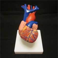 1st Quality Budget Life Size Human Heart Model