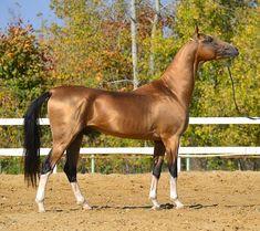 Ахалтекинцы                                                                                                                                                                                 More Planeta Animal, Akhal Teke Horses, Golden Horse, Most Beautiful Horses, Animals Beautiful, Pony Horse, Horse Photography, Horse Love, Horse Breeds