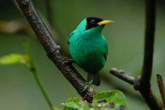The Green honeycreeper by Noel Ureña https://talaribirding.com/2016/06/27/los-cusingos-el-templo-de-la-ornitologia-neotropical/