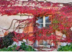 Si siempre quiso tener una pared cubierta de vegetales, para brindarle un interesante aspecto estético, color y vida a su hogar, la manera más práctica y económica de conseguirlo es a través deplantas trepadoras o enredaderas.