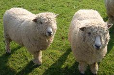 Tudor Barn, Bewdley 01299 400129 RYELAND SHEEP