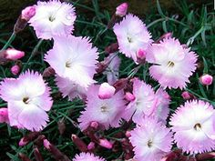 Dianthus Whatfield Wisp