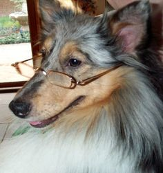 I'd also gladly take a glasses-wearing Sheltie, too.