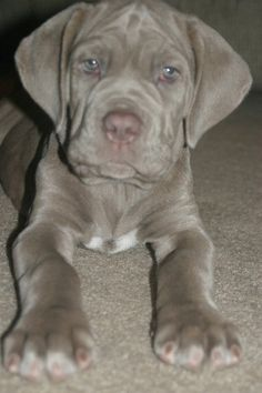gunmetal mastiff puppy. gorgeous and destined to be huge!  :)