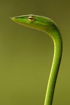 serpiente de la vid