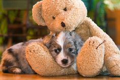 Australian Shepard puppy with Teddy