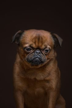 "The ""Dog Show"" Project Reveals The Human-Like Traits Of Different Breeds Of Dogs - World's largest collection of cat memes and other animals Dog Show, Alexander Khokhlov, Pug, Chihuahua, Griffon Dog, Brussels Griffon, Photography Awards, Portrait Photography, Friends Show"