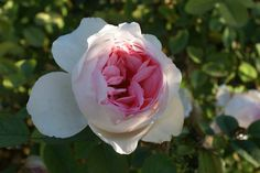 Linda Anne - Ludwigs Roses | Linda Anne MacAllister enjoys about 2000 rose bushes in her garden in Bryanston, Johannesburg. The rose named after her is a tough, very healthy & free flowering HT with shapely blooms of a delicate porcelain pink. The buds are pointed, slowly revealing a quartered centre of deeper pink hue and a slight, yet distinct scent. An endless supply of pickable blooms.