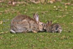 Stock photo of mother and baby European Wild Rabbit showing a tender moment as they nuzzle each other affectionately. Description from acclaimimages.com.   bing.com/images