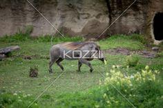 warthog strolling grassland - Female Warthog strolling in Toronto Zoo's African Savanna outdoor corral.