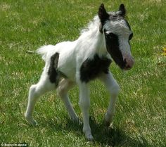 Einstein the world's smallest stallion he is just the cutest little thing. I Love Horses!!!