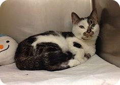 """""""T-3"""" - URGENT - Ohio County Animal Shelter in Triadelphia, WV - ADOPT OR FOSTER - 2 year old Female Domestic Shorthair"""
