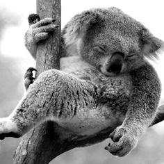 kOALA SLEEPING - BLACK/WHITE