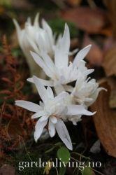 Colchicum autumnale 'Alboplenum' Shrubs, Perennials, Garden Design, Gardens, Plants, Pink, Shrub, Landscape Designs, Plant