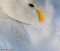 Whooper repose - Sam Rowley - Wildlife Photographer of the Year 2007 : 11-14 Years - Highly commended