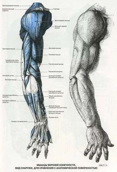 анатомия человека мышцы для художников: 13 тыс изображений найдено в Яндекс.Картинках