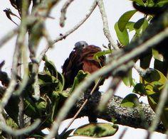 Foto rolinha-roxa (Columbina talpacoti) por Marcelo De Barros Pimentel