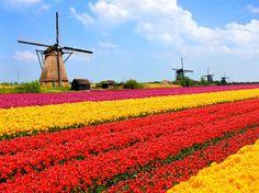 Ruta Bollenstreek, Países Bajos Campos que son como el arcoíris se recortan frente al cielo azul. La holandesa Ruta Bollenstreek es una de las carreteras más bonitas del mundo. Los tulipanes florecen entre Abril y Mayo y transforman el paisaje en líneas de colores vibrantes. Esta ruta está sembrada de pueblecitos monos en los que se subastan flores, por si te quieres llevar un souvenir único.