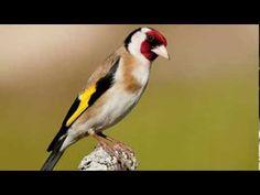 Song of the European Goldfinch Goldfinch, Bird, Birds, Birdwatching