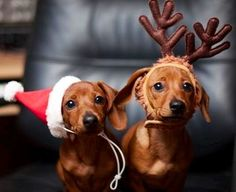 Christmas dachshunds via Namaste Cafe at www.Facebook.com/NamasteDharmaCafe